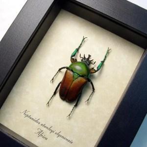 Neptunides stanleyi elgonensis African Beetle
