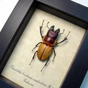 Odontolabis brookeana False Eyes Stag Beetle