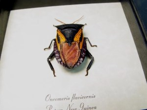 Oncomeris flavicornis Red Heart Beetle