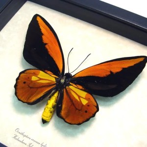 Ornithoptera croesus lydius Golden Birdwing Butterfly