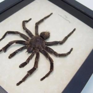 Pamphobeteus species Tarantula Spider