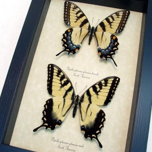 Papilio glaucus Set Tiger Swallowtail