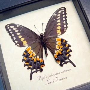 Papilio polyxenes verso Eastern Black Swallowtail