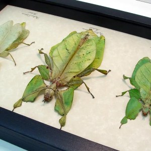 Phyllium Green Walking Leaf Insects