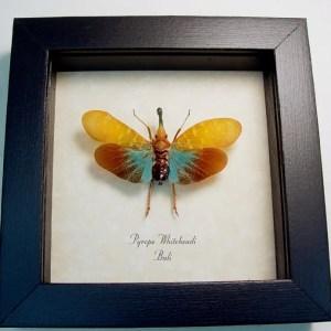 Pyrops whiteheadi Blue Lanternfly