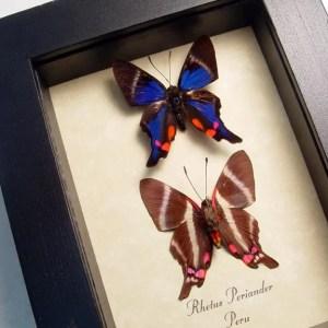 Rhetus periander Set Blue Swallowtails