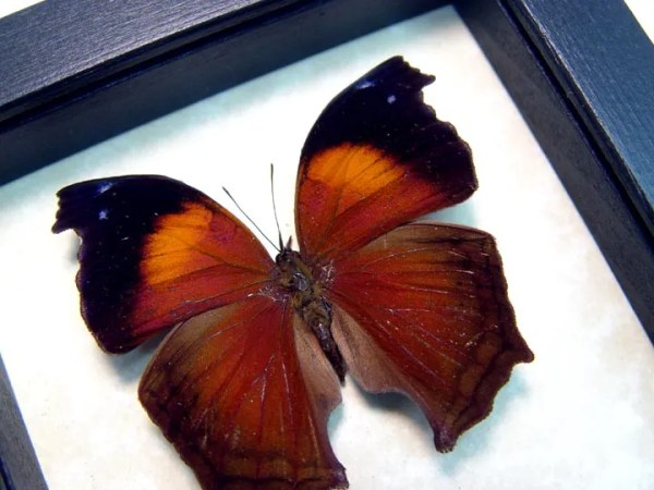 Salamis Cacta Lilac Beauty Butterfly
