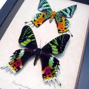 Framed Moths From Around the World