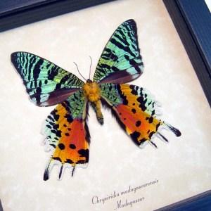 Sunset Moth Verso Madagascar Moth