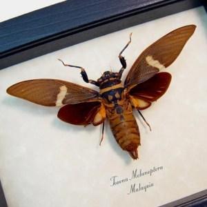 Tosena melanoptera Bat Winged Cicada
