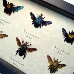 Xylocopa Sp Carpenter Bee Collection