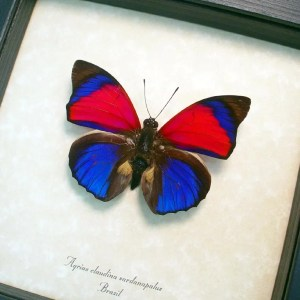 OOAK Agrias claudina sardanapalus Electric Blue Butterfly