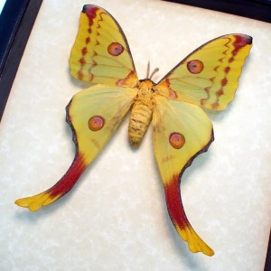 ooak Argema mittrei Female Comet Moon Moth