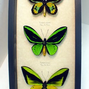 Ornithoptera Birdwing Giant Birdwing Butterflies Set
