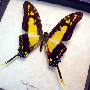 OOAK Eurytides thyastes Yellow Swordtail Butterfly