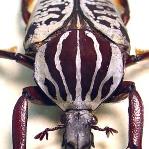 Goliathus albosignatus kirkianus 51mm Scarab Beetle ooak