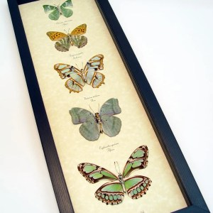Green Leaf Mimic Butterfly Collection