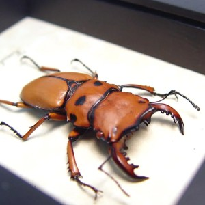 OOAK Homoderus mellyi Male 47mm Hummer Beetle