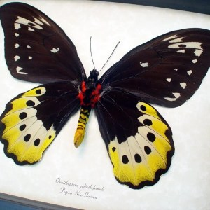 Ornithoptera Goliath Verso Female Birdwing Giant Butterfly