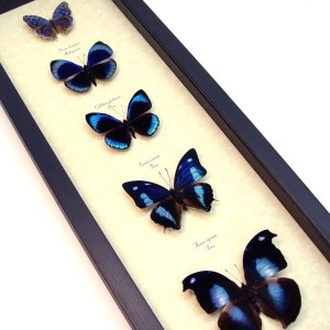 Royal Blue Butterfly Collection Real Framed Butterflies ooak