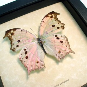 ooak Salamis parhassus Mother Of Pearl Butterfly