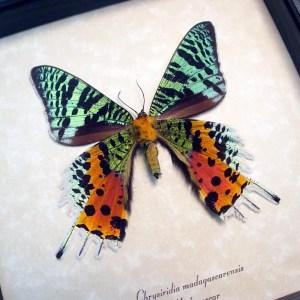 ooak Sunset Moth Verso Madagascar Moth