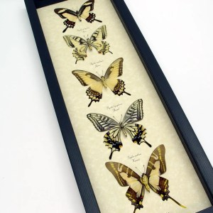 Tiger Swallowtail Butterfly Collection Real Framed Butterflies ooak