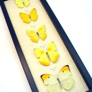 Yellow Butterfly Collection Real Framed Butterflies ooak