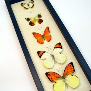 Yellow Orange Butterfly Collection Real Framed Butterflies ooak