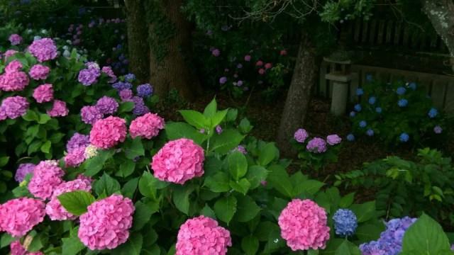 紫陽花 2015-2