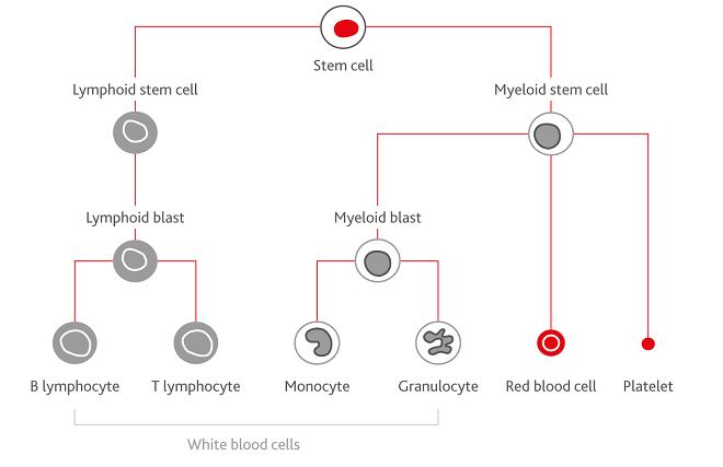 Understanding Acute Myeloid Leukaemia & its treatment