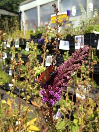 European Peacock at the garden centre