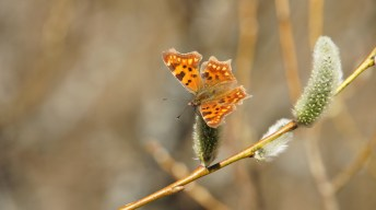 Comma on blossom of willow