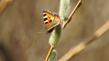 Small Tortoiseshells are common visitors on blossoms of willow
