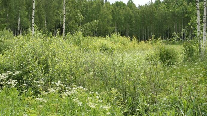 Habitat where caterpillars of the Scarce Tortoiseshell were found on willow (Salix phylicifolia)