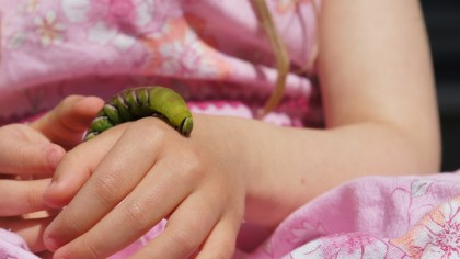 Caterpillar of the Privet Hawk Moth