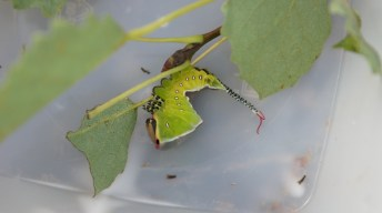 Caterpillar of the Puss Moth being threatened