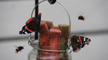 Red Admirals and other buzzers as the Butterfly Bar