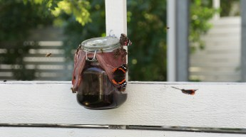 Red Admirals at the butterfly bar