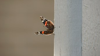Red Admiral resting