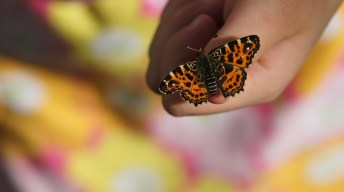 Map butterfly being released into nature