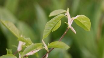 Caterpillar of the Brown Hairstreak
