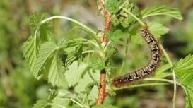 Caterpillar of the Oat Eggar