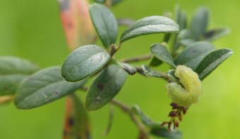 Adult caterpillar of the Green Hairstreak