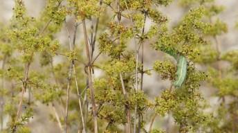 Caterpillar of the Hummingbird hawk-moth