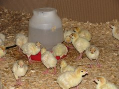 Buttonwood Farm turkey poults