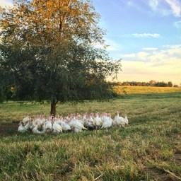 Buttonwood Farm Turkeys on Pasture