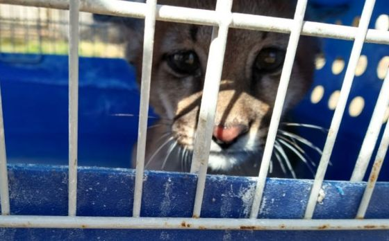 Rescatan a una cachorra de puma que estaba cautiva en una casa