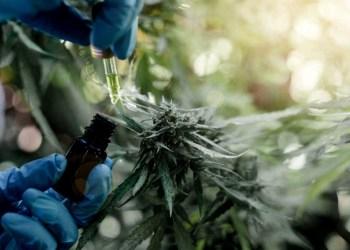 Chubut: una sociedad del estado producirá cannabis para uso medicinal y terapéutico