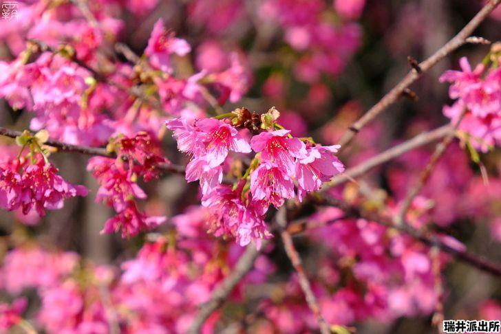 20210215000906 84 - 台中這間派出所旁有櫻花盛開中,瑞井派出所賞櫻秘境,櫻花好拍好入鏡~